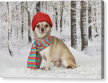 Chihuahua In Winter Canvas Print by John Daniels
