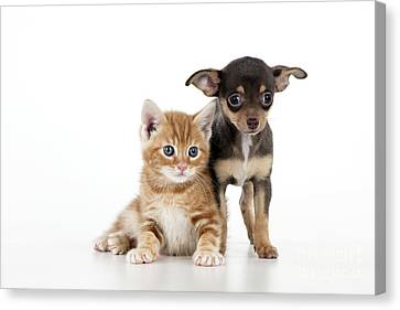 Chihuahua Puppy And Kitten Canvas Print