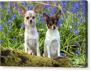 Chihuahuas In Bluebells Canvas Print