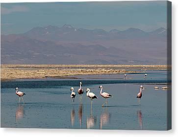 Chilean Flamingo, (phoenicopterus Canvas Print