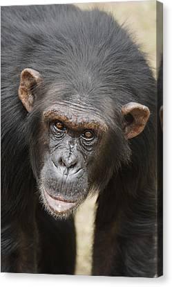 Chimpanzee Portrait Ol Pejeta Canvas Print by Hiroya Minakuchi