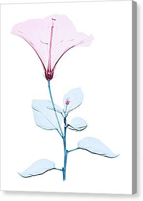 Chinese Hibiscus Flower Canvas Print by Brendan Fitzpatrick