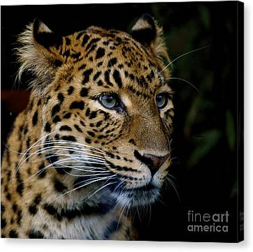 Chinese Panther Canvas Print