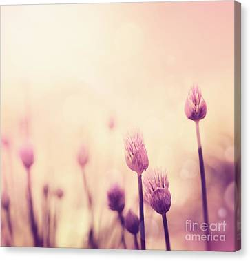 Npetolas Canvas Print - Chives Flowers by Mythja  Photography