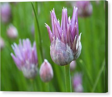 Canvas Print featuring the photograph Chives by Gene Cyr