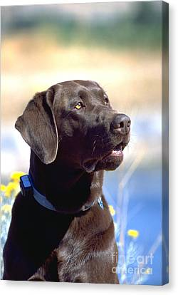 Chocolate Labrador Retriever Male 5 Canvas Print by William H. Mullins