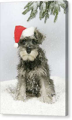 Christmas Schnauzer Canvas Print by John Daniels