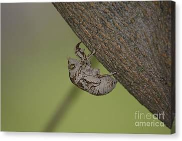 Cicada Canvas Print by Randy Bodkins