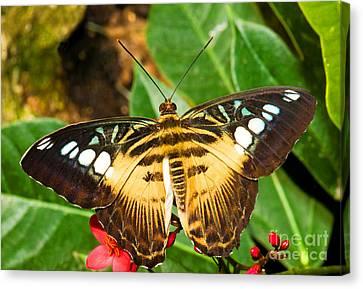 Clipper Butterfly Canvas Print by Millard H. Sharp