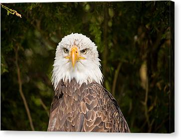 Close-up Of A Bald Eagle Haliaeetus Canvas Print by Panoramic Images