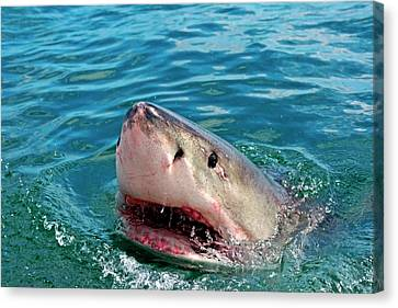 Cage Diving Canvas Print - Close Up Of A Great White Shark by Miva Stock