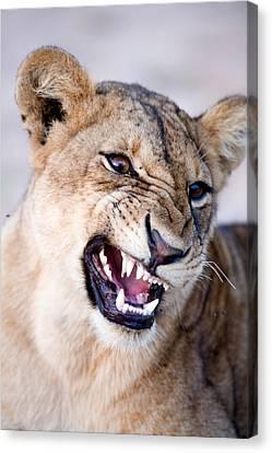 Close-up Of A Lioness Panthera Leo Canvas Print