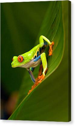 Close-up Of A Red-eyed Tree Frog Canvas Print by Panoramic Images