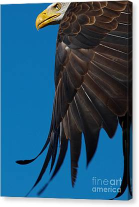Canvas Print featuring the photograph Close-up Of An American Bald Eagle In Flight by Nick  Biemans