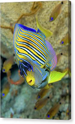 Schooling Canvas Print - Close-up Of Angelfish (pterophyllum by Jaynes Gallery