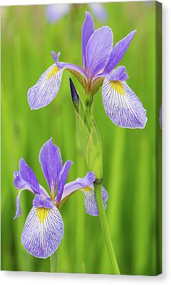 Close-up Of Blue Flag Iris Iris Canvas Print by Panoramic Images