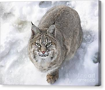 Close-up Of Bobcat Lynx Looking At Camera Canvas Print by Sylvie Bouchard