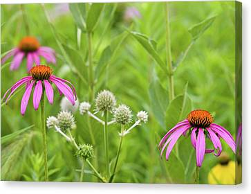 Close-up Of Various Coneflowers Canvas Print