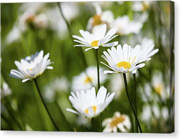 Close Focus Nature Scene Canvas Print - Close-up Of White Daisy Flowers by Panoramic Images