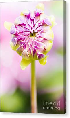 Closed Pink Baby Dahlia Flower. Spring Blossom Canvas Print by Jorgo Photography - Wall Art Gallery