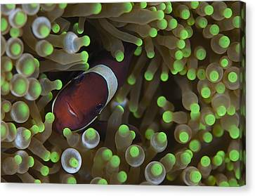 Clownfish In Anemone Canvas Print by Science Photo Library
