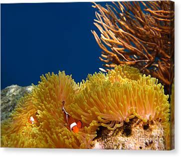 Clownfish In Coral Garden  Canvas Print by Fototrav Print