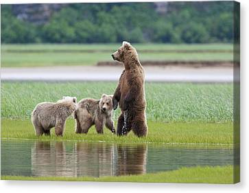 Coastal Brown Bear Sow With Her Two Canvas Print