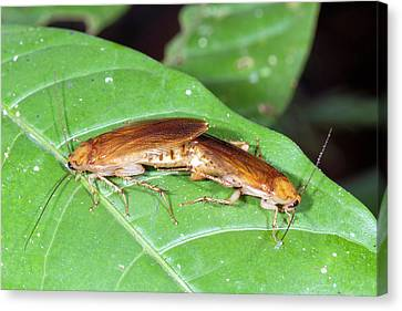 Cockroaches Mating Canvas Print