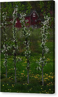Blossoms At Cold Spring Orchard Canvas Print