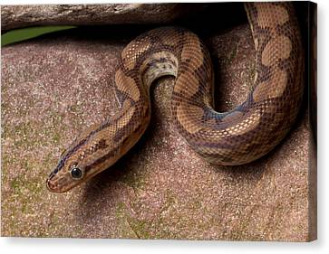 Canvas Print featuring the photograph Colombian Rainbow Boa Epicrates Maurus by David Kenny