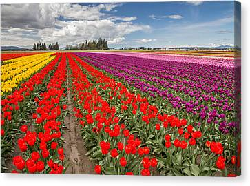 Colorful Field Of Tulips Canvas Print by Pierre Leclerc Photography