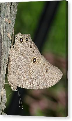 Common Evening Brown Butterfly Canvas Print by Science Photo Library