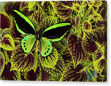 Common Green Birdwing Or The Priams Canvas Print by Darrell Gulin