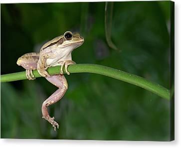 Common Indian Tree Frog Canvas Print by K Jayaram
