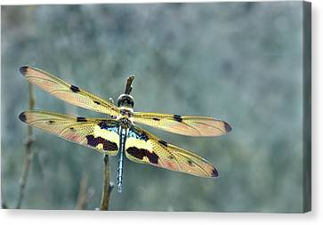 Common Picture Wing Dragonfly Canvas Print by K Jayaram