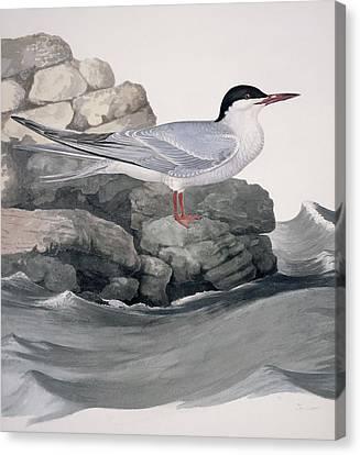 Hirundo Canvas Print - Common Tern, 19th Century Artwork by Science Photo Library