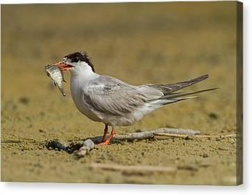 Hirundo Canvas Print - Common Tern (sterna Hirundo) by Photostock-israel