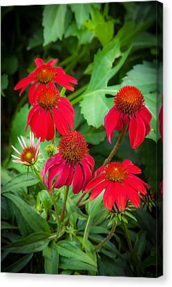 Coneflowers Echinacea Red Painted  Canvas Print by Rich Franco