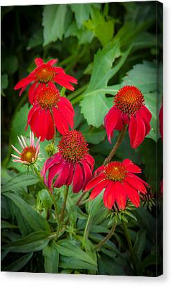 Abstracted Coneflowers Canvas Print - Coneflowers Echinacea Red  by Rich Franco
