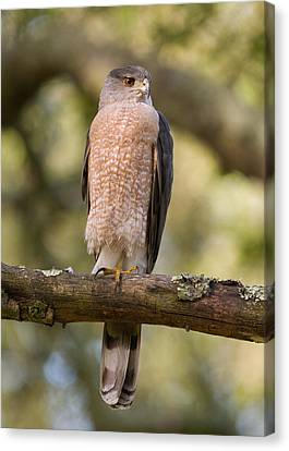 Cooper's Hawk Canvas Print by Doug Herr