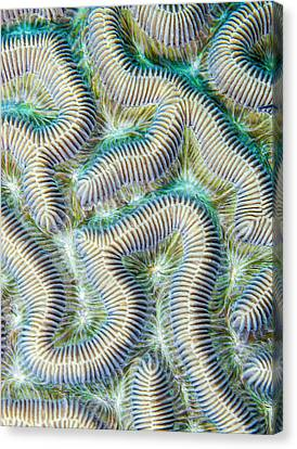 Coral Maze Canvas Print by Jean Noren