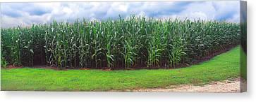 Corn Field, Coles, Philo, Urbana Canvas Print