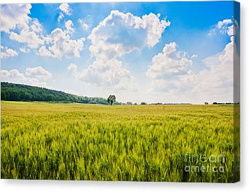 Cornfield In Tuscany Canvas Print