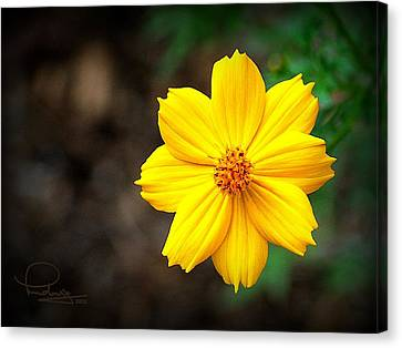 Canvas Print featuring the photograph Cosmos Flower by Ludwig Keck