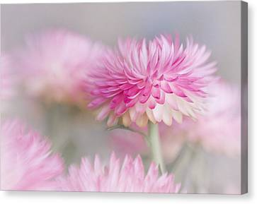 Cotton Candy Canvas Print by David and Carol Kelly