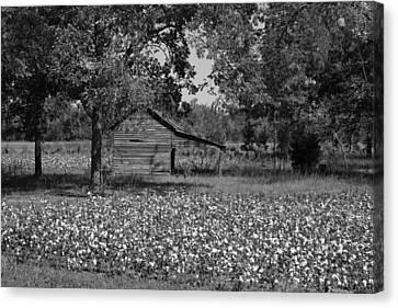 Cotton In Rural Alabama Canvas Print