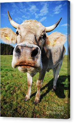 cow Canvas Print by Hannes Cmarits