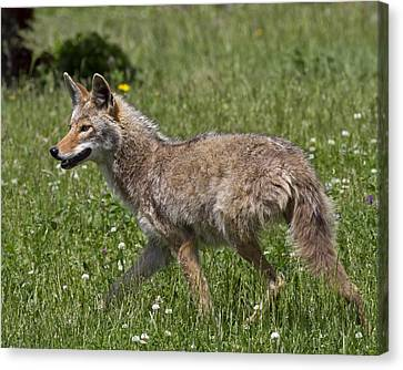 Coyote-0017 Canvas Print by Eric Mace