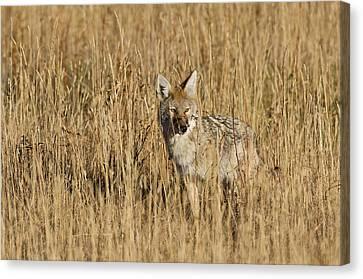 Coyote - 4387 Canvas Print