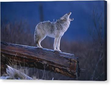 Coyote Standing On Log Alaska Wildlife Canvas Print